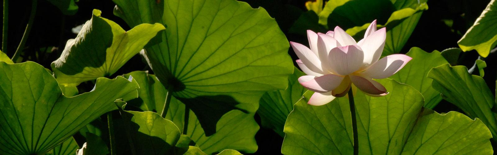 picture of water flower in turtle pond